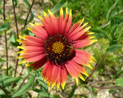Blanket Flower (Courtesy of Paula Richards)