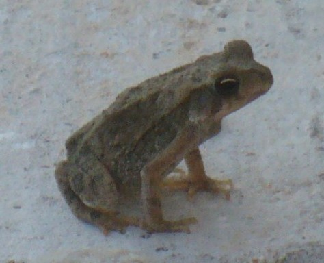 small frog C