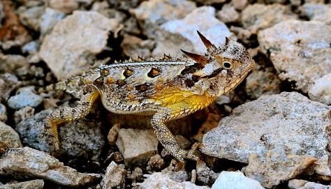 Texas horned lizard Jim Baines