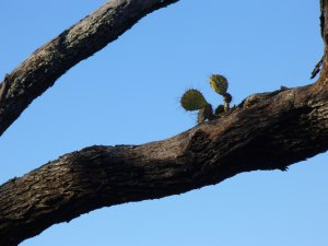 Up a tree! (Courtesy Paula Richards, Jan 2014)