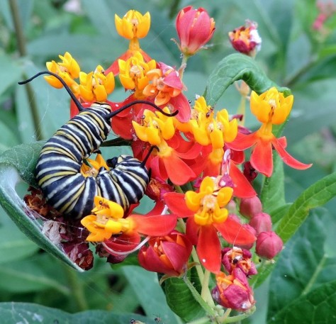 Monarch caterpillar  on a milkweed blossom. (Photo courtesy of Sue Kersey)