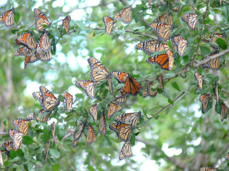 Swarm of Monarchs. (Courtesy of Marvin Bloomquist)