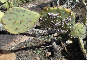 Female cochineal. (Courtesy of Paula Richards)