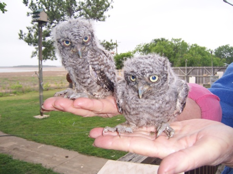 Owl fledglings. (Courtesy of Arlene and Richard Pearce)