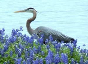 Great Blue Heron (Courtesy of Sue Kersey)