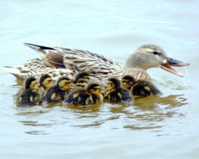 Mallard with Babies (Courtesy of Sue Kersey)