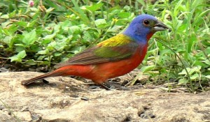 Painted Bunting with snack (Courtesy of Sue Kersey)