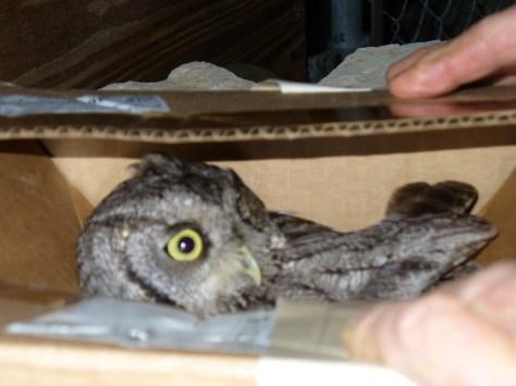 prerelease owl