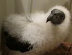 Fluffy fledgling. (Courtesy of Richard and Arlene Pearce)