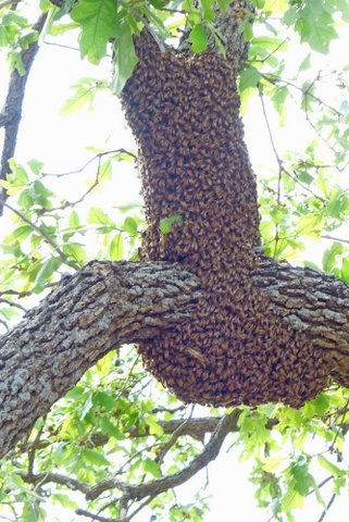 Honey bee swarm resting on tree while waiting for scouts to find a new home. (Courtesy of Phil Wyde)