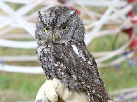 Best screech owl