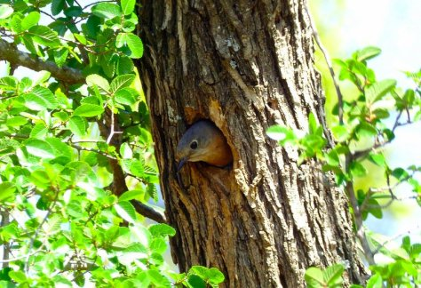 Eastern bluebird nesting in a tree.  (Courtesy of Jim Baines)