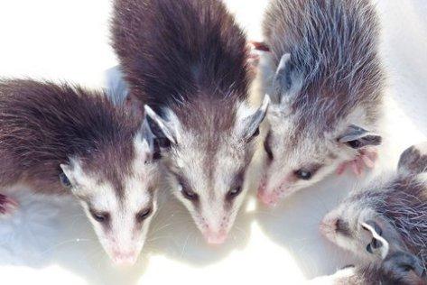 """""""Opossum"""