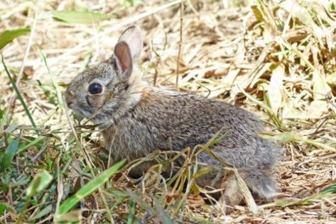 Baby rabbit heading home to the wild. (Courtesy of Phil Wyde)