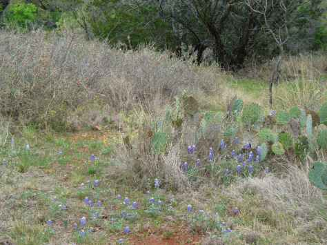 Trail winding around cactus thru bluebonnets (Courtesy of Paula Richards)