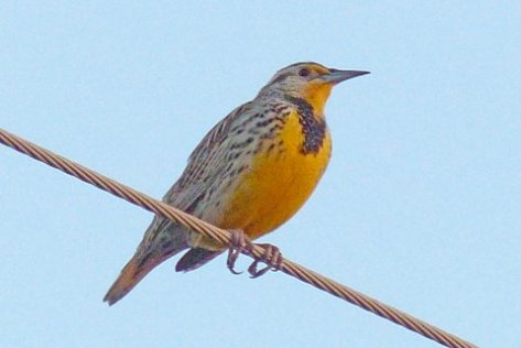 Western Meadowlark (Courtesy of Phil Wyde)