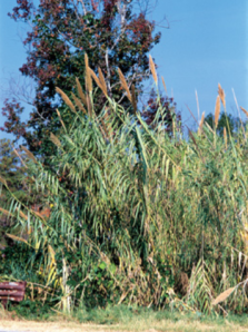 Giant Reed. (Courtesy of James H. Miller, USDA Forest Service)