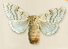 Gypsy moth. (Courtesy of Invasives.org)