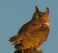 Great Horned Owl (Courtesy of Paula Richards)