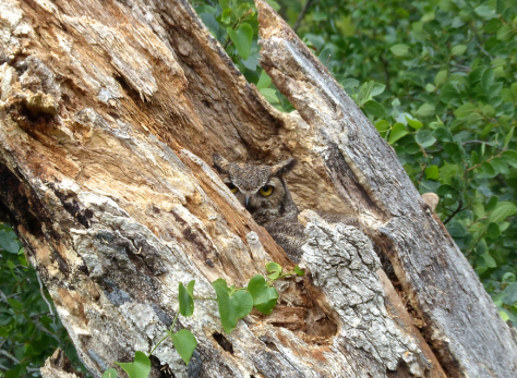Mama owl guarding the nest at Reveille Peak Ranch. (Courtesy of Jim Baines)