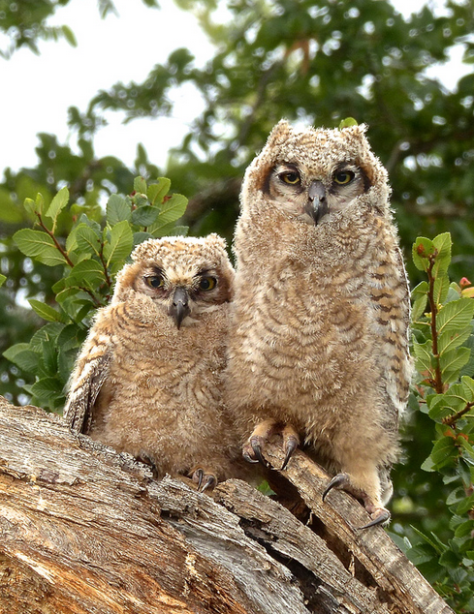 Young horned owls at Reveille Peak Ranch, near the nature center. (Courtesy of Jim Baines)