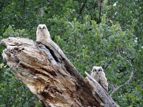 Young horned owls exploring their new world at Reveille Peak Ranch. (Courtesy of Jim Stacy)