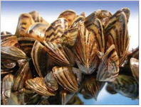 Zebra mussels. (Courtesy of Texas Parks and Wildlife)