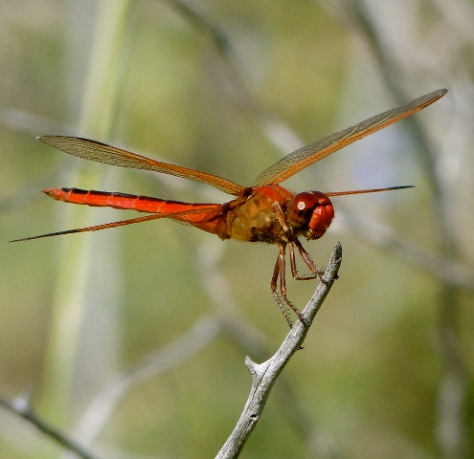 Autumn Skimmer (Courtesy of Jo Ellen Cashion)