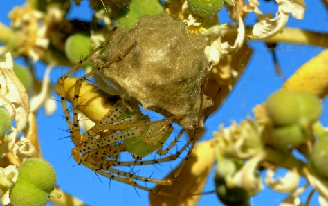 Green Lynx Spider guarding her egg sack. (Courtesy of Jim Baines)