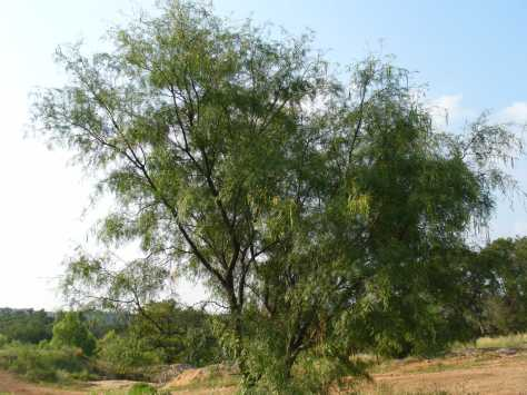 Mesquite tree (courtesy of Paula Richards)