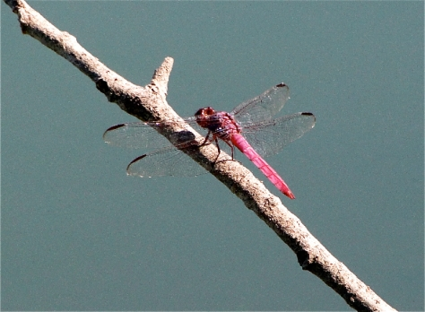 Roseate Skimmer (Courtesy of Jo Ellen Cashion)