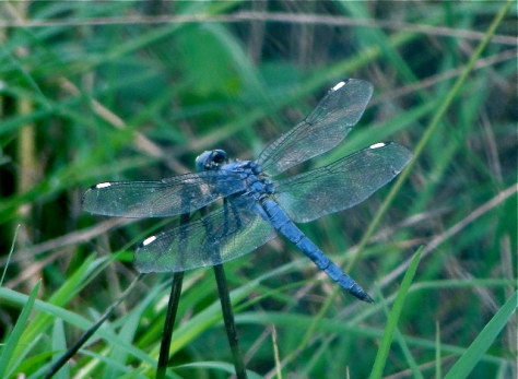 Spangled Skimmer (Courtesy of Jo Ellen Cashion)