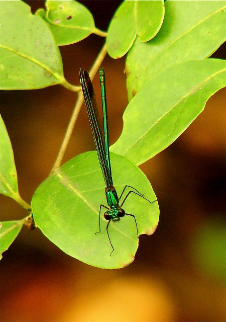 Sparkling jewelwing - front view (Courtesy of Jo Ellen Cashion)