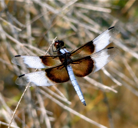 Widow Skimmer (Courtesy of Jo Ellen Cashion)