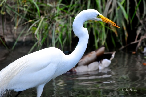Egret with crab. (Courtesy of Jim Baines)