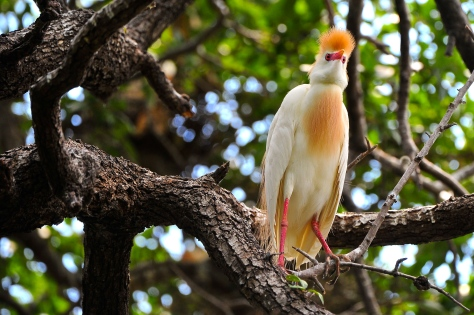 Cattle egret (Courtesy of Jim Baines)