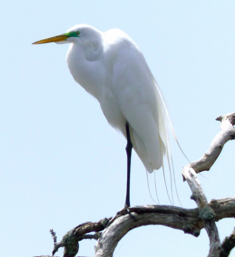 Great White Egret (Courtesy of Jim Baines)