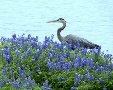 Great Blue Heron. (Courtesy of Sue Kersey)