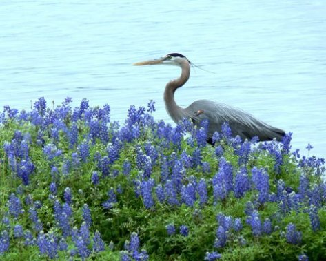 Great Blue Heron. (Courtesy of Sue Kersey)