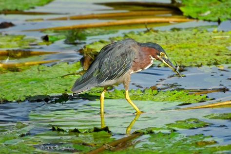 Green heron with tasty catch. (Courtesy of Jim Baines)