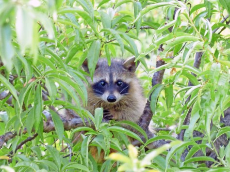 A curious bandit! (Courtesy of Phil Wyde)