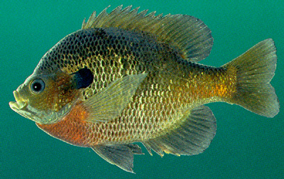Blue Gill in Mating Season (Courtesy of Wikipedia)