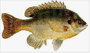 Blue Gill Sunfish (Courtesy of TPWD)