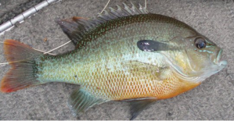 Invasive species of sunfish - Redbreasted (Courtesy of Mike Cline, Wikipedia Commons)