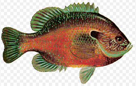 Sunfish illustration (Courtesy of TPWD)