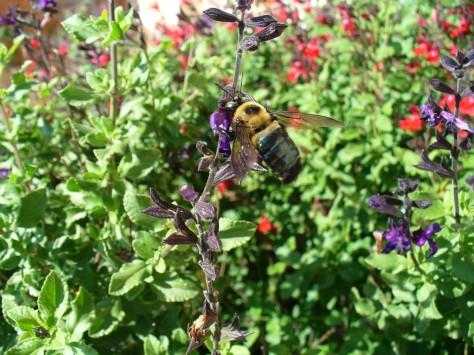 Bee sipping nectar. (Courtesy of Paula Richards)