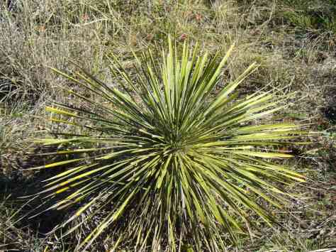 Buckleys yucca. (Courtesy of Paula Richards)