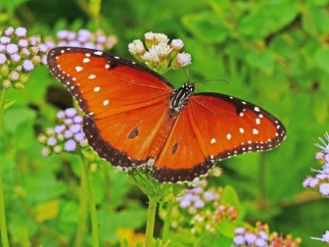 Queen butterfly on blue mist wildflower. (Courtesy of Phil Wyde)