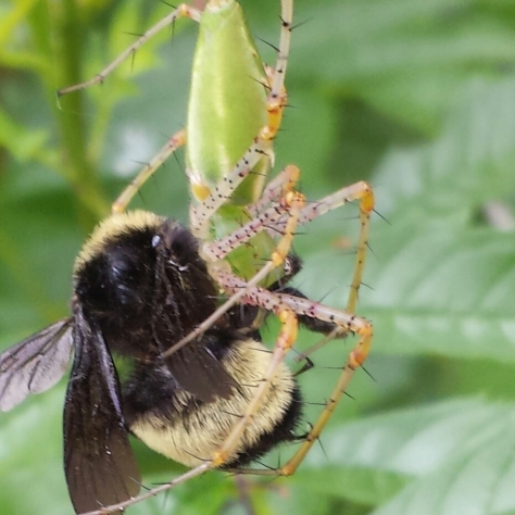 Lynx spider munching on a fuzzy bumble bee. (Courtesy of Billy Hutson)