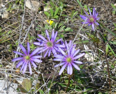Purple anemone. (Courtesy of Paula Richards)